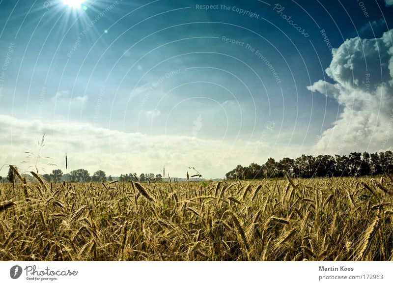 About country Life Trip Summer Nature Landscape Sky Clouds Sunlight Weather Grain Barley Barleyfield Field Esthetic Threat Beautiful Wild Blue Brown White Power