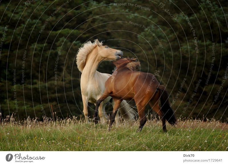 Wild Horses Exotic Ride Agriculture Forestry Nature Landscape Summer Tree Grass Pine Meadow Pasture Denmark Animal Pet Farm animal Pony Iceland Pony Dun (horse)