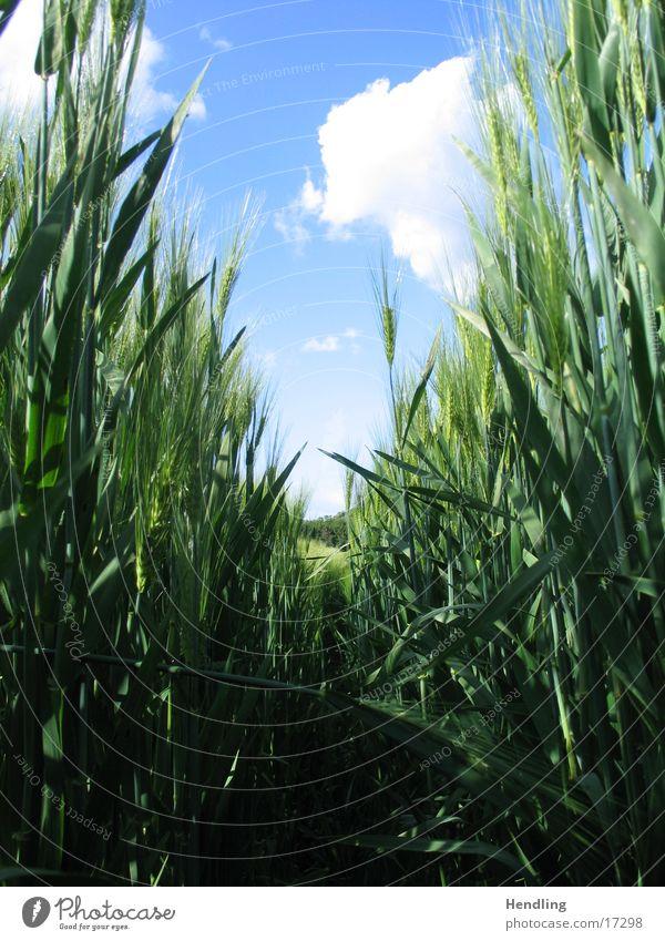 Hidden in the grain field Vanishing point Transport hide in field Upward Blue sky