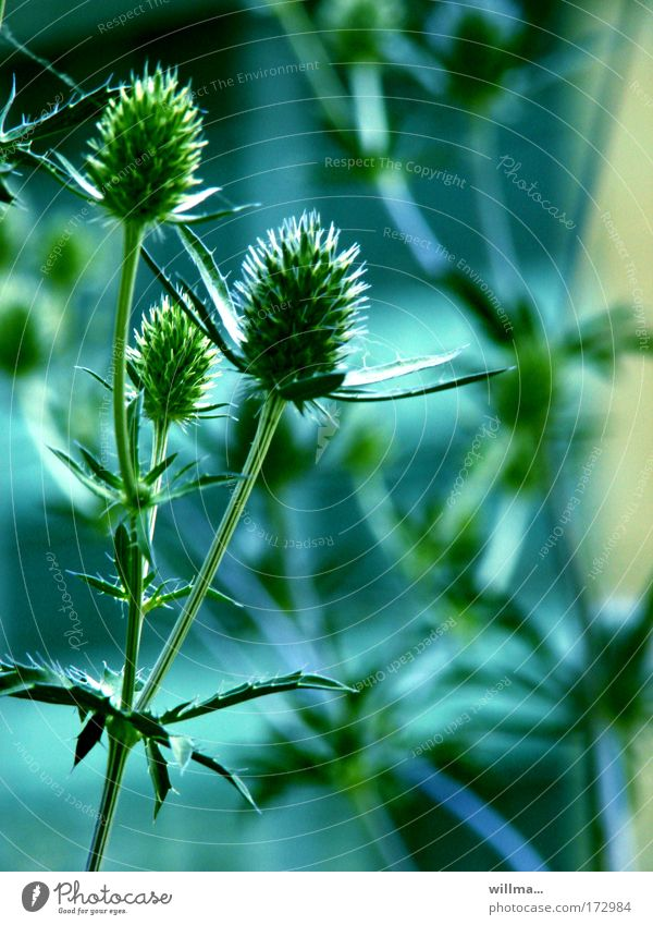green-billed blue thistle tee Biology Environment Nature Plant Wild plant Thistle Point Thorny Blue Green Barbed hook Resistance Attachment Growth Colour photo