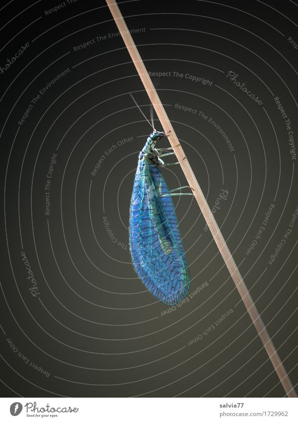 as light as a feather Environment Nature Animal Stalk Wild animal Fly Wing Common green lacewing Insect Neuropteran 1 Hang Crawl Esthetic Thin Natural Gray