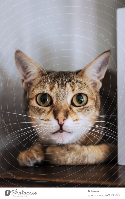 Cat Mau Animal Pet 1 Cuddly Point Eyes Cat eyes Whisker Pelt Observe Large Colour photo Interior shot Deserted Copy Space top Shallow depth of field