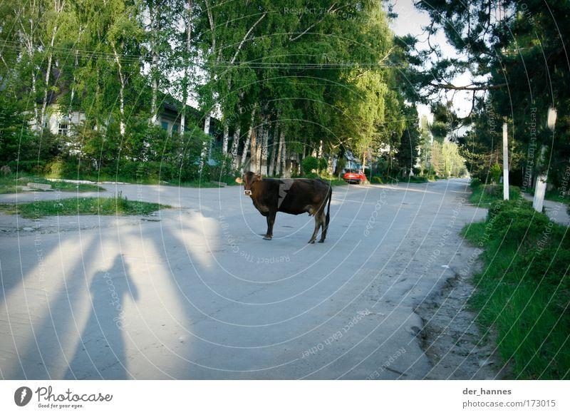 Nature Animal Street Nutrition Environment Lanes & trails Asia Village Beautiful weather Cow Traffic infrastructure Shabby Boredom Farm animal