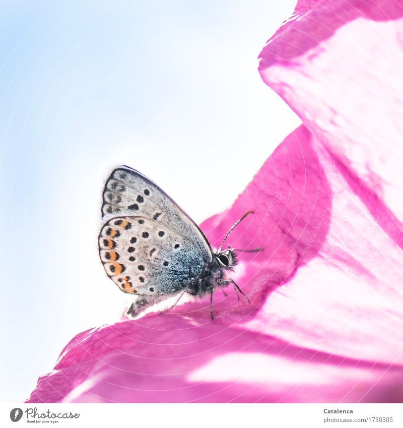 Pink & blue Nature Plant Sky Flower Rose Blossom Meadow Animal Wild animal Butterfly Insect Polyommatinae 1 Fragrance Crawl Esthetic Blue Orange Happiness