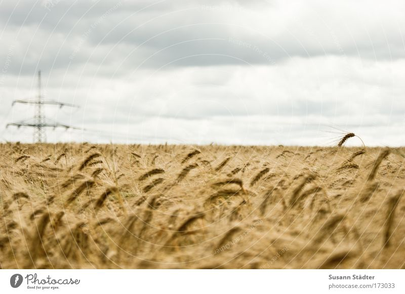 field of gold Colour photo Subdued colour Exterior shot Structures and shapes Deserted Copy Space left Copy Space right Copy Space top Copy Space bottom Day