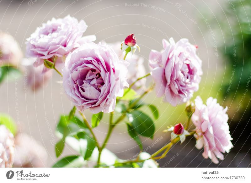 Pink Roses Trip Summer Nature Plant Spring Beautiful weather Flower Leaf Pot plant Garden Park Meadow Joy Happy Happiness national horticultural show Blossom