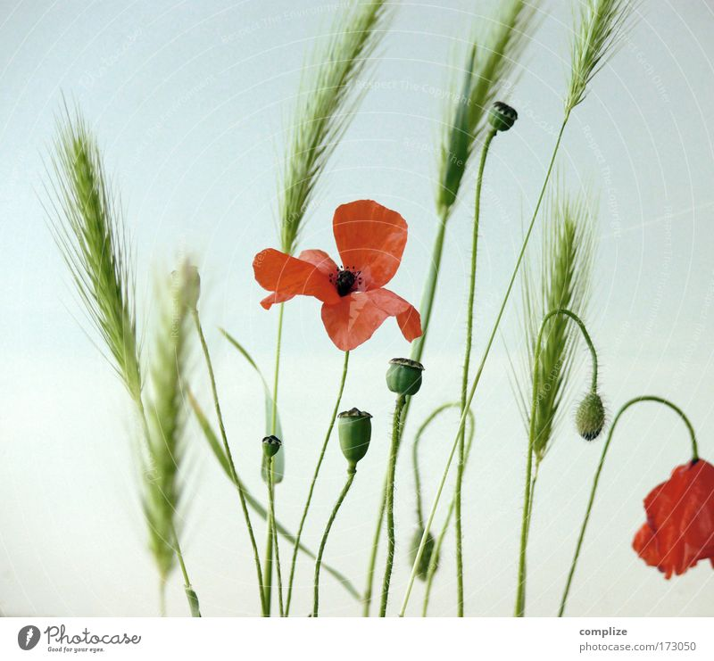 Sky Nature Beautiful Plant Sun Summer Flower Environment Grass Wild Bushes Beautiful weather Grain Poppy Intoxicant Honest