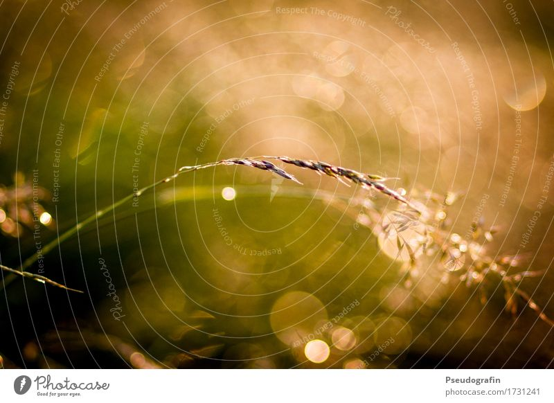 Close up meadow after the rain Nature Plant Drops of water Sunrise Sunset Sunlight Summer Grass Field Moody Warm-heartedness Esthetic blurriness Glittering