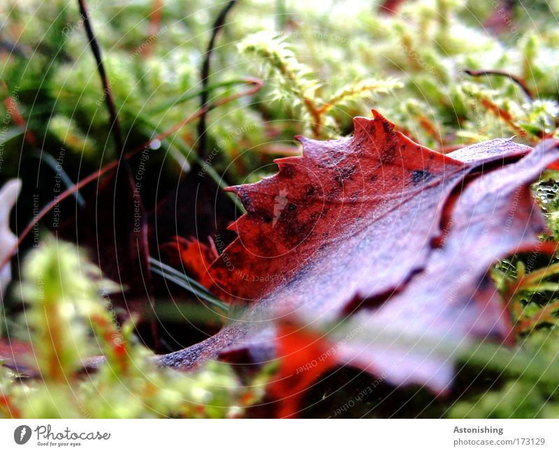 Leaf in moss Environment Nature Plant Summer Autumn Moss Bright Brown Green Point Prongs Blade of grass Colour photo Exterior shot Macro (Extreme close-up)