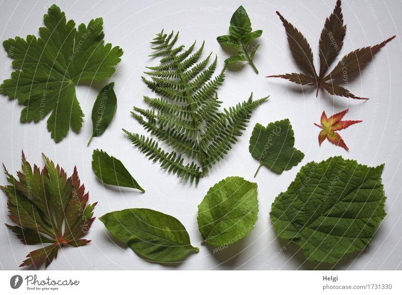 foliar collection... Plant Summer Leaf Rachis Maple leaf Fern Hazelnut leaf Garden Collection Lie Fresh Uniqueness Natural Brown Green White Arrangement