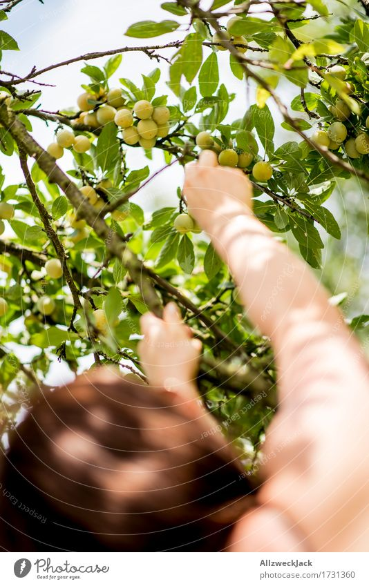 Mirabelle plum harvest 2 Feminine Arm Hand 1 Human being Summer Tree Agricultural crop To enjoy apricots Plum Plum tree Harvest Fruit Fruit trees Garden Pick