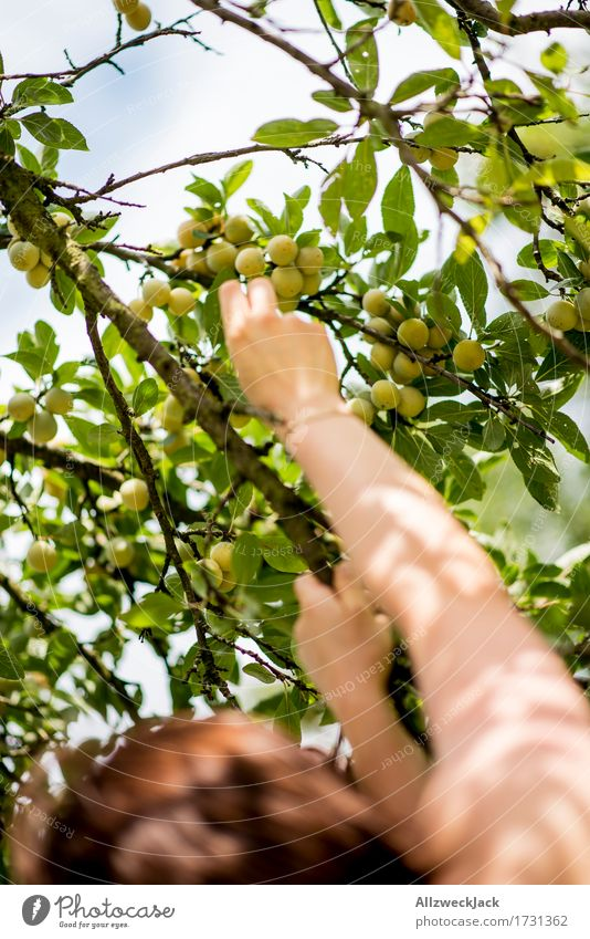 Mirabelle plum harvest 1 Feminine Arm Hand Human being Summer Tree Agricultural crop To enjoy apricots Plum Plum tree Fruit Fruit trees Harvest Garden Pick