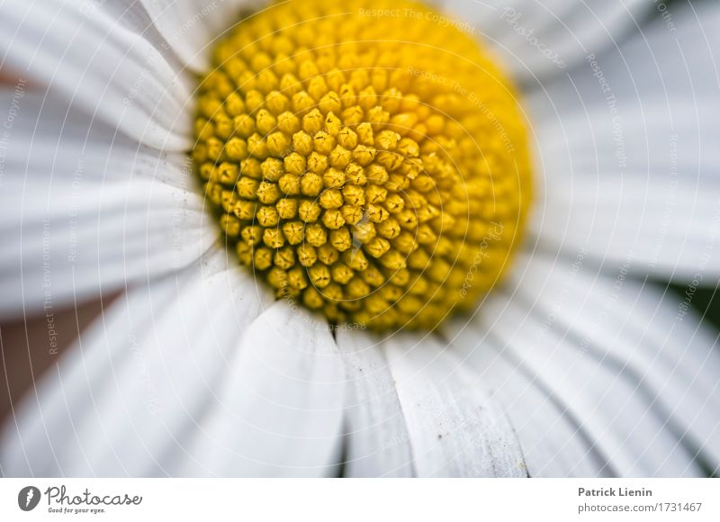 Leucanthemum vulgare Nature Plant Colour Summer Beautiful Green White Flower Landscape Leaf Yellow Blossom Spring Meadow Natural Grass