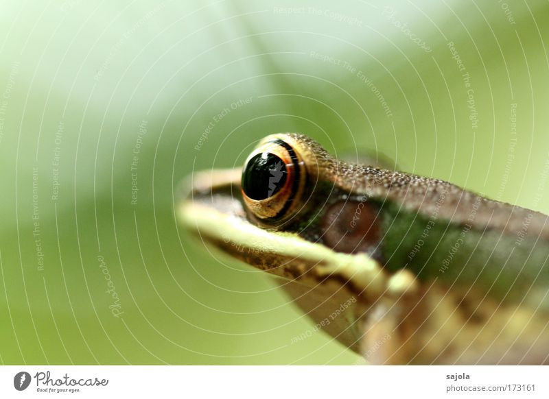 Nature Green Animal Eyes Brown Wild animal Sit Wait Observe Animal face Asia Virgin forest Frog Frogs Malaya Borneo