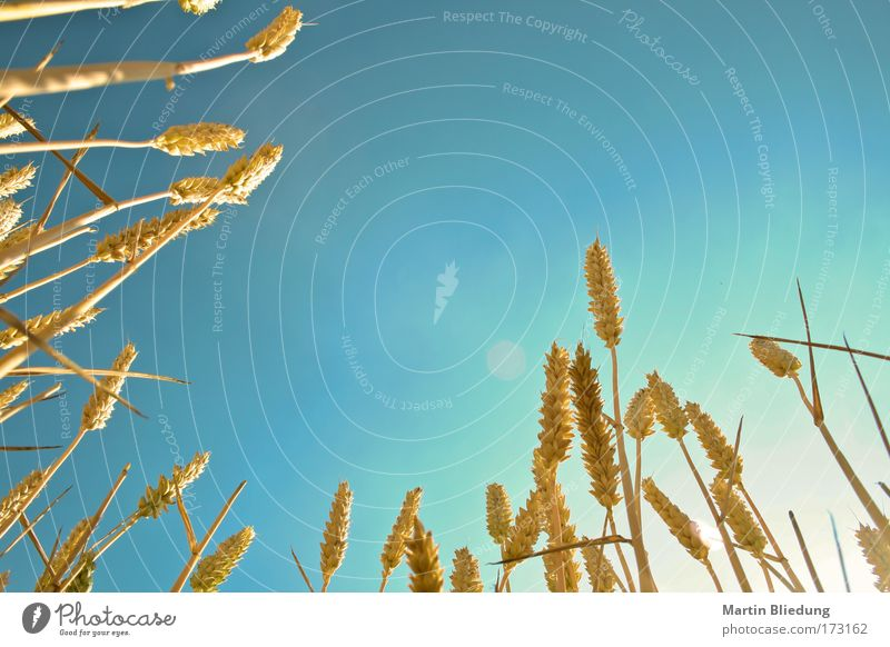 cornflakes Grain Organic produce Life Trip Freedom Summer Sun Nature Sky Agricultural crop Field Lie Dream Healthy Warmth Blue Yellow Moody Warm-heartedness