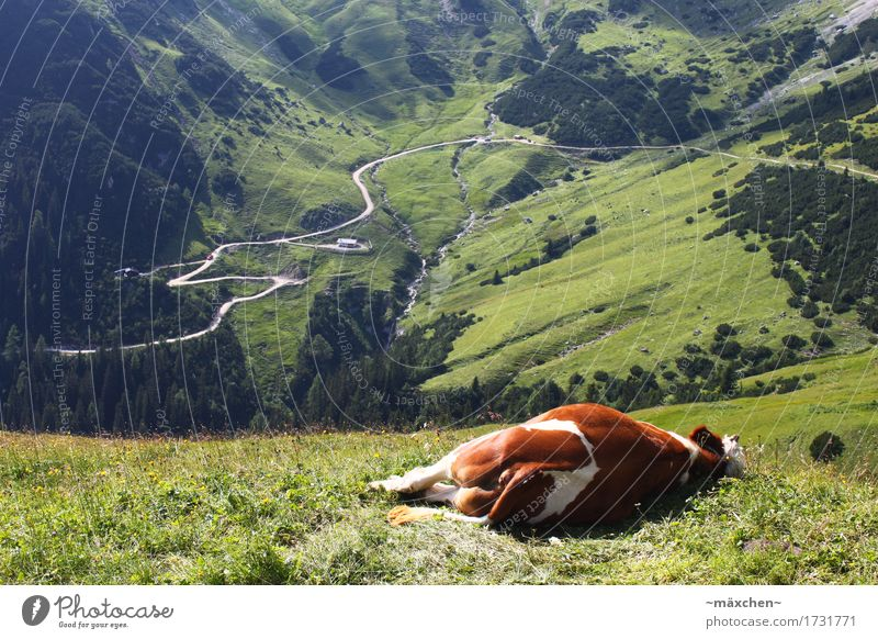 Just relax... Summer Mountain Hiking Landscape Alps Cow 1 Animal Relaxation To enjoy Sleep Infinity Natural Green Happy Fatigue Exhaustion Comfortable
