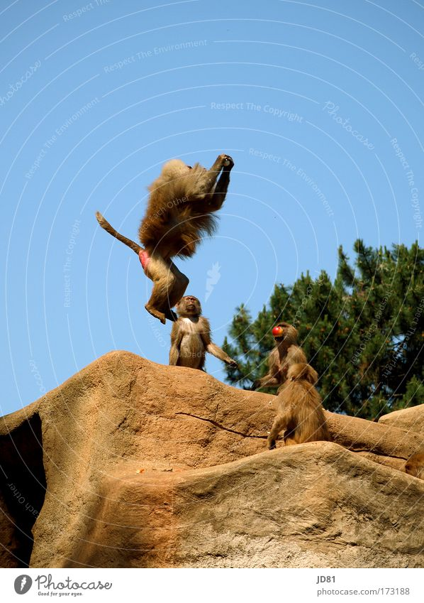 Blue Animal Nutrition Jump Brown Power Rock Hair Speed Success Might Group of animals Observe Curiosity Hill Catch