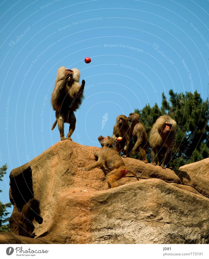 Blue Animal Brown Rock Power Success Group of animals Observe Curiosity Hill Apple Concentrate Catch Zoo Brave To feed