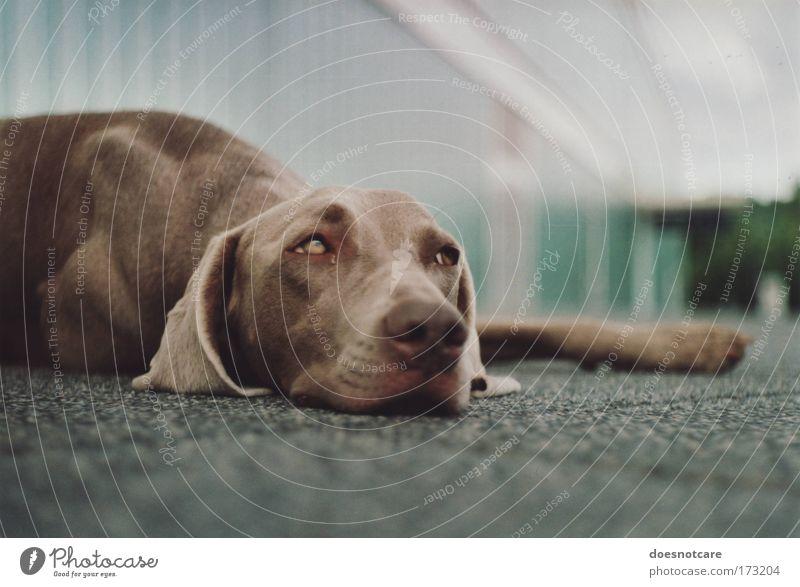 Calm Animal Relaxation Dog Brown Break Lie Pelt Analog Fatigue Cute Pet Snout Film Hound Weimaraner