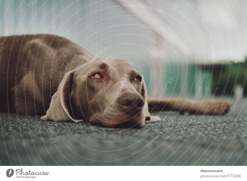... but gravity always gets you down. Animal Pet Dog Hound Weimaraner 1 Relaxation Lie Brown Fatigue Analog 35mm film Cute Break Colour photo Exterior shot