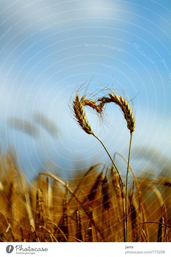 Nature Summer Love Life Environment Field Heart Natural Food Grain Harvest Cornfield Organic produce Raw materials and fuels Organic farming Nutrition