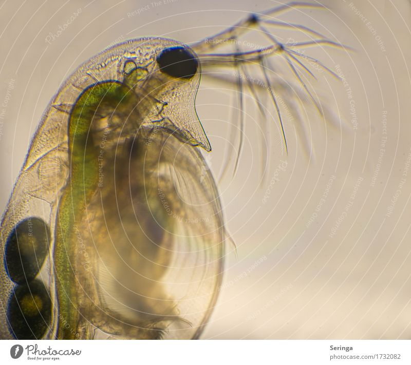 Life in a drop of water (water flea) Science & Research Water Drops of water Animal Wild animal Animal face Water flea 1 Microscope Observe Looking
