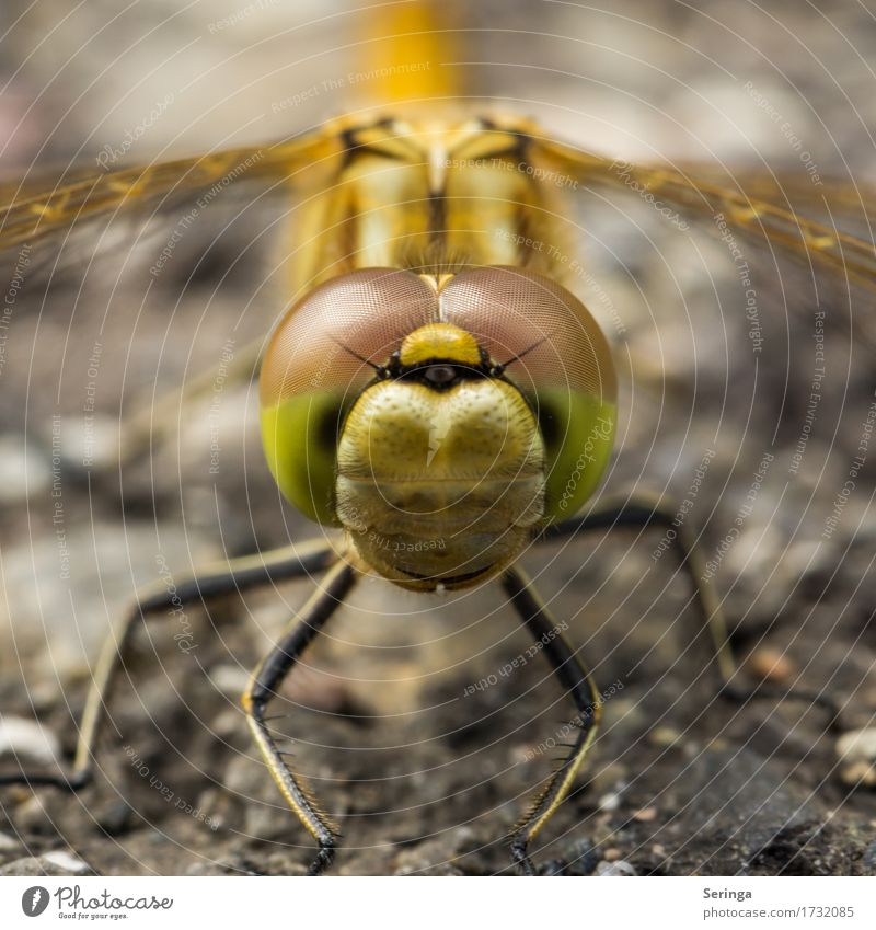 Glubschaugen in the square Animal Wild animal Fly Animal face Wing 1 Flying Big dragonfly Dragonfly Dragonfly wings Colour photo Multicoloured Exterior shot