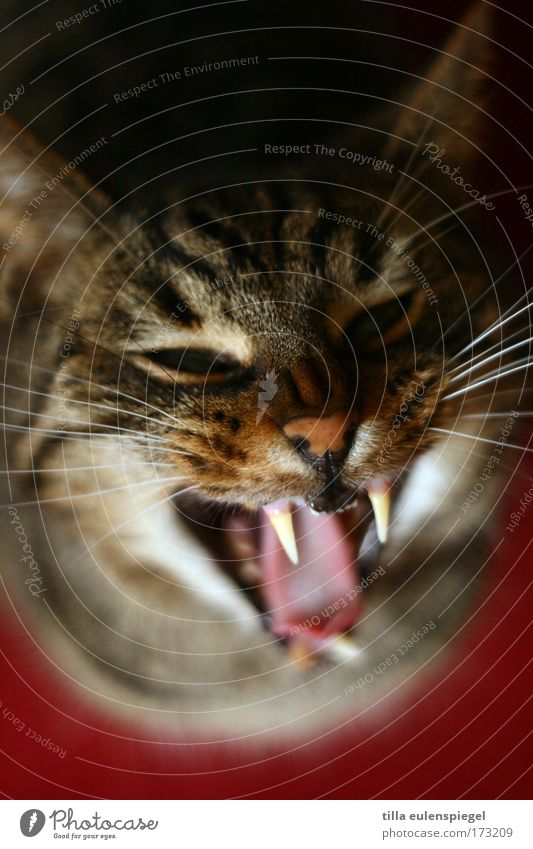 Animal Cat Dangerous Animal face Threat Wild Anger Stress Pet Aggression Bird's-eye view Rebellious Yawn Fang Snarl Show your teeth
