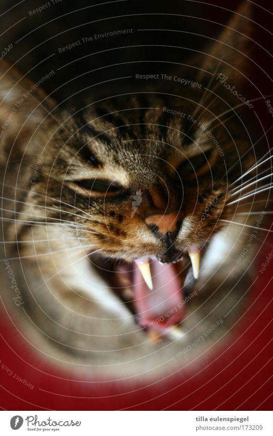 so Colour photo Interior shot Bird's-eye view Animal portrait Pet Cat Animal face 1 Aggression Threat Rebellious Wild Anger Dangerous Stress Show your teeth
