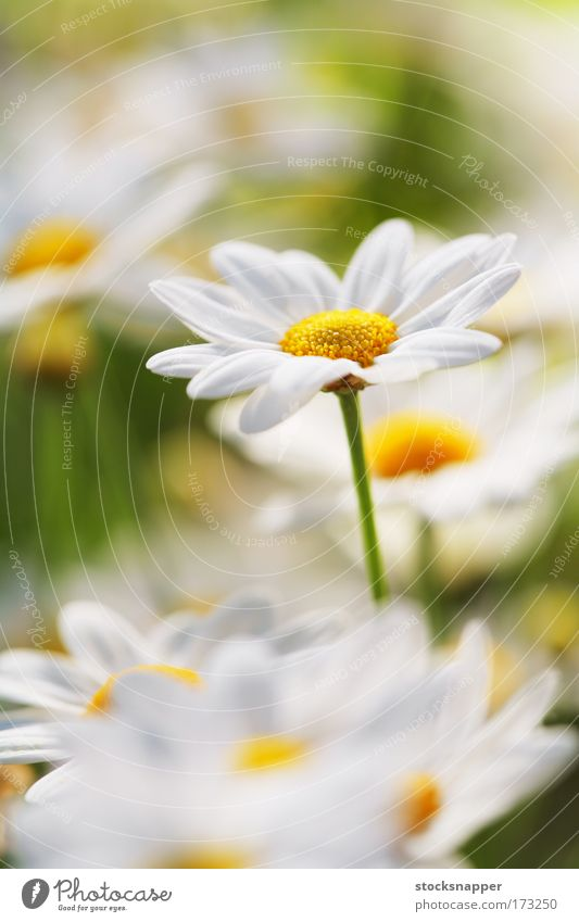 Summer Flower Nature Macro (Extreme close-up) Daisy Meadow flower Marguerite
