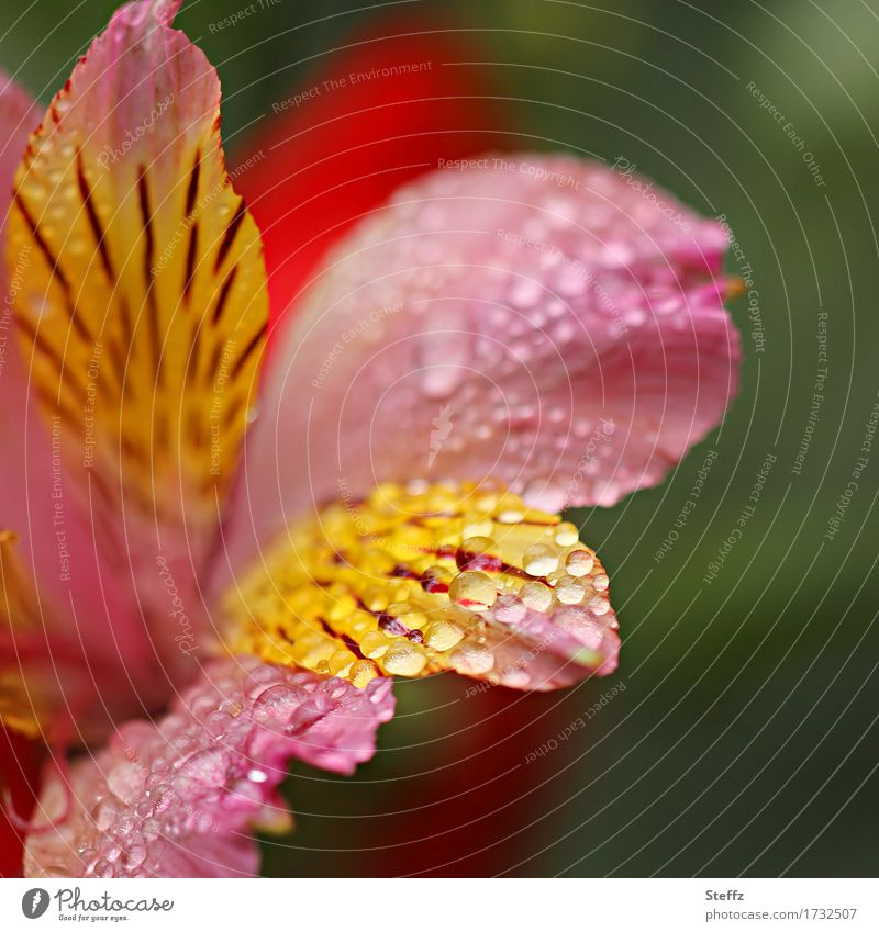 Nature Plant Summer Beautiful Flower Yellow Blossom Garden Pink Rain Drops of water Blossoming Wet Blossom leave Lily
