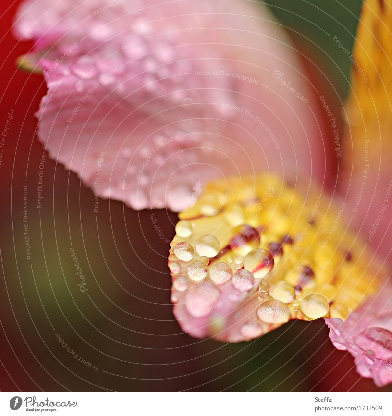 Nature Plant Summer Beautiful Flower Environment Yellow Blossom Garden Pink Rain Park Weather Blossoming Drops of water Blossom leave