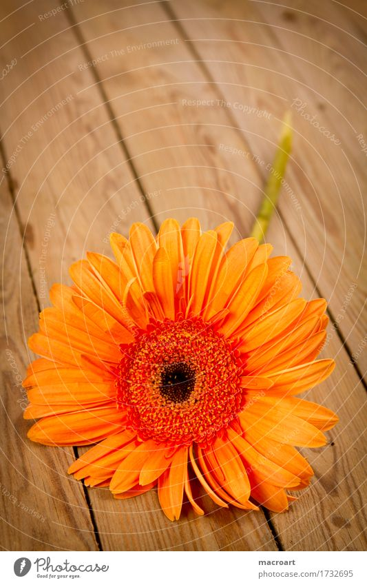 gerbera Gerbera Orange Flower Blossoming Lie Wooden board Gift Plant Floristry Birthday Mother's Day