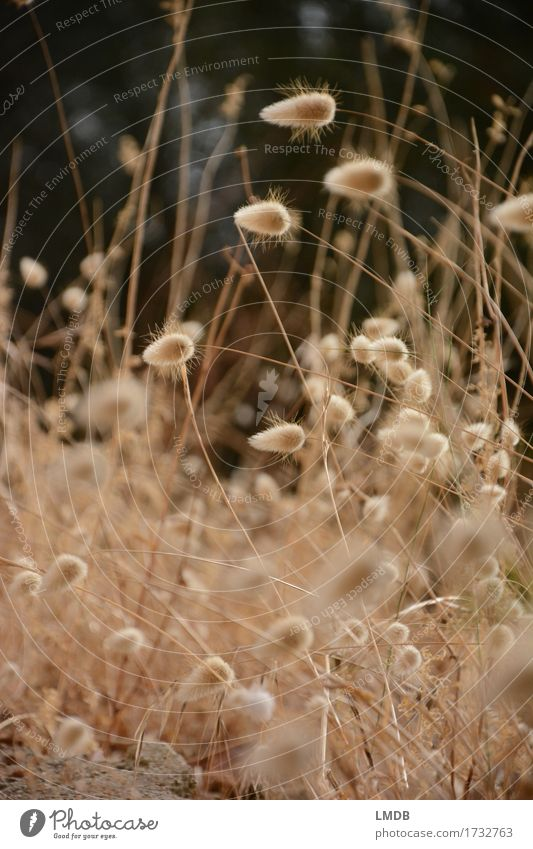 Autumn Puschel grass 4 Environment Nature Plant Meadow Field Dry Gold Autumnal Dried flower Drought Thin Thanksgiving Blade of grass Ear of corn Colour photo