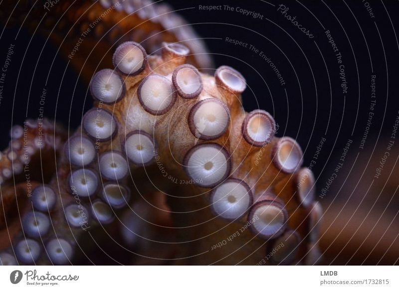 OooooOoooctopus I Animal Wild animal Aquarium 1 Round Squid Octopus Octopods Mollusk Suction pad 8 Tentacle Detail Underwater photo The deep Ocean Colour photo