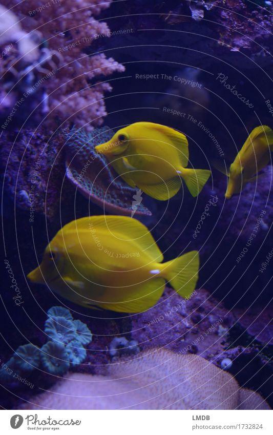 3 times yellow Nature Animal Bay Coral reef Ocean Aquarium Group of animals Yellow Pink Fish Surgeon fish lemon fin surgeonfish Hawaii Tropical Exotic