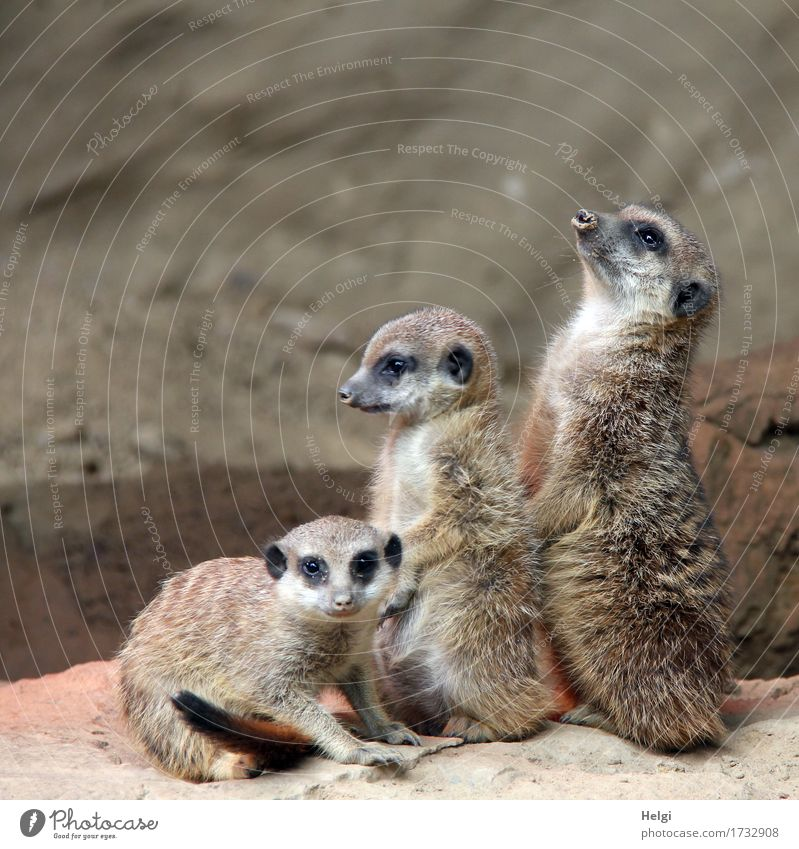 cute trio Animal Earth Zoo Meerkat 3 Group of animals Baby animal Observe Looking Sit Stand Esthetic Together Small Curiosity Cute Brown Gray Contentment
