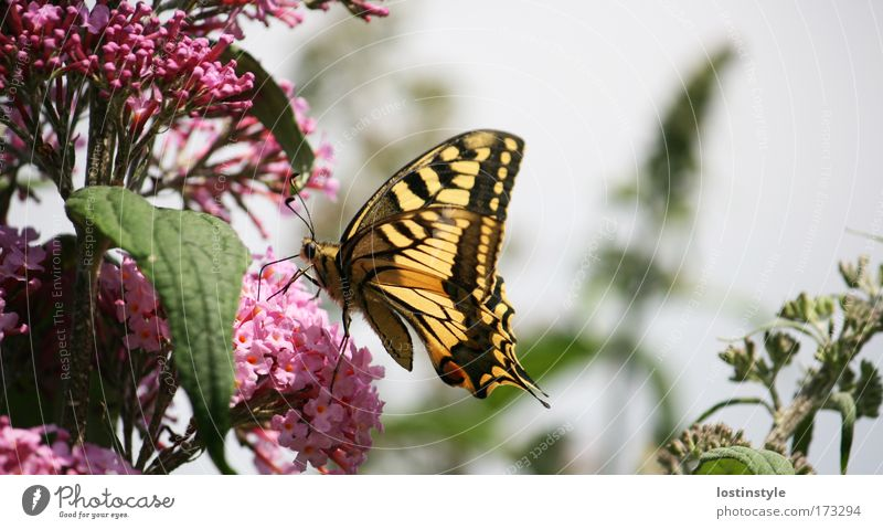Is it good? Colour photo Exterior shot Day Nature Plant Animal Sun Summer Beautiful weather Butterfly Flying Yellow Pink lilac Smooth Hairy Feeler Trunk