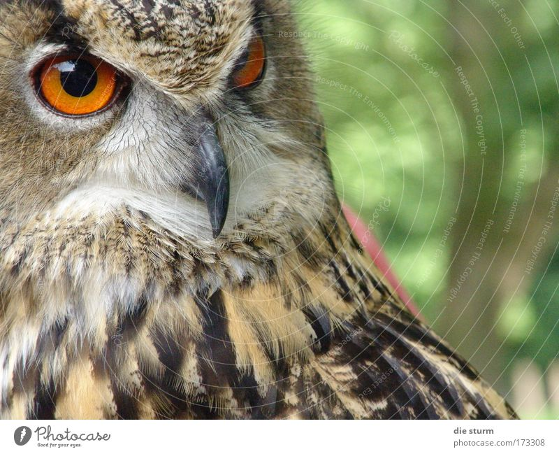 Eagle owl, a night bird Colour photo Exterior shot Close-up Copy Space right Day Shadow Long shot Animal portrait Forward Wild animal Bird Animal face Zoo 1