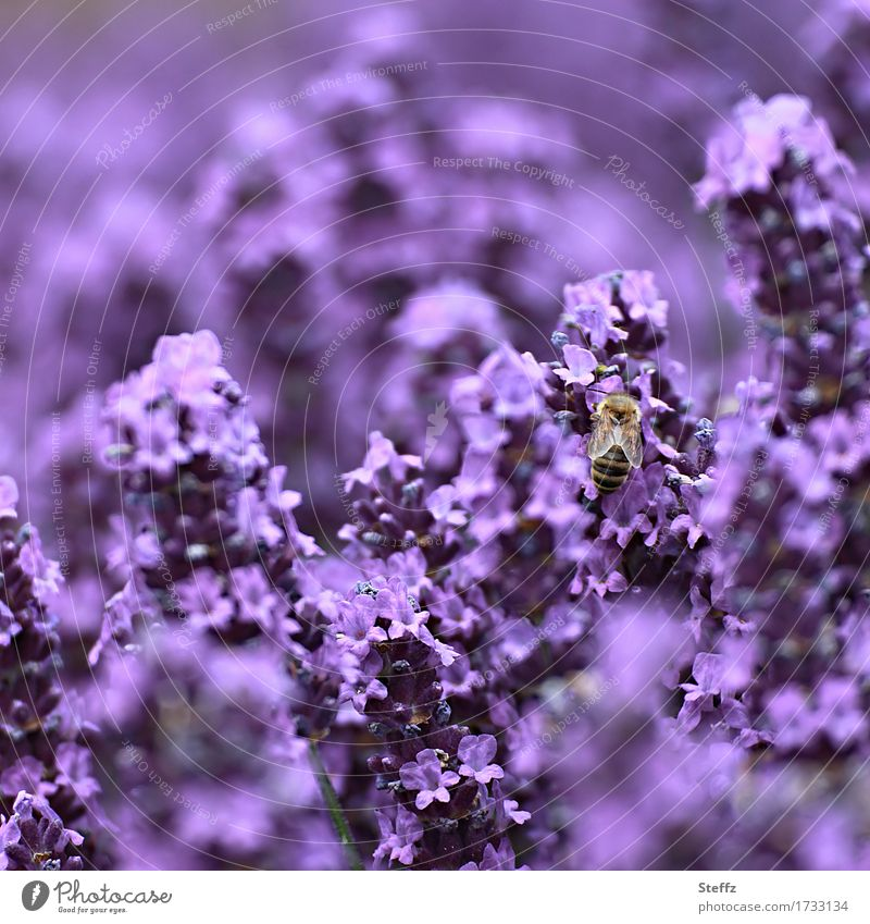 purple rich Environment Nature Plant Summer Flower Blossom Garden plants Lavender Medicinal plant Bee Insect Blossoming Fragrance Crazy Beautiful Violet