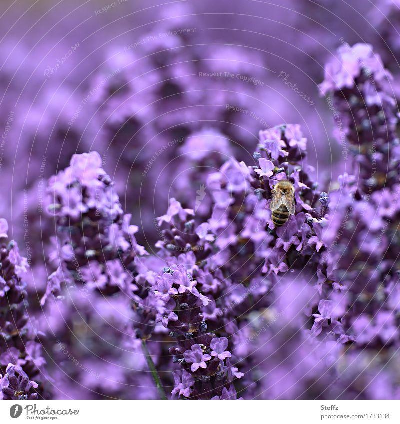 purple rich Lavender flowering lavender lavender flowers lavender scent Summerflower Nectar Flowers lavender blossom Bee July Blossom Fragrance Violet Idyll