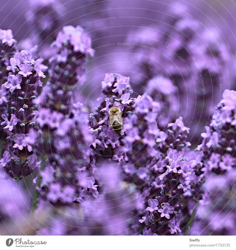 flowering lavender is irresistible to bees Lavender lavender flowers lavender scent Lavender colors medicinal plant summery impression Domestic Idyll