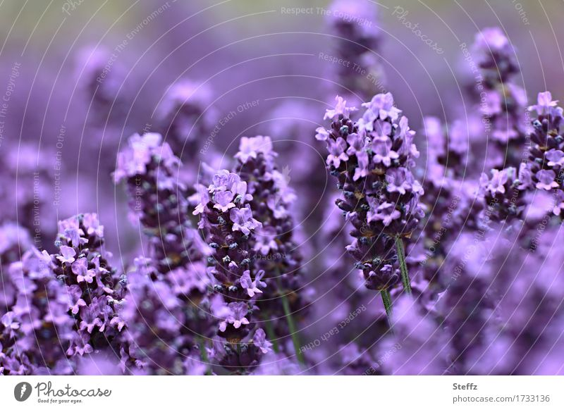 Nature Plant Summer Colour Beautiful Flower Environment Blossom Garden Blossoming Violet Summery Lavender Gaudy Medicinal plant Intensive