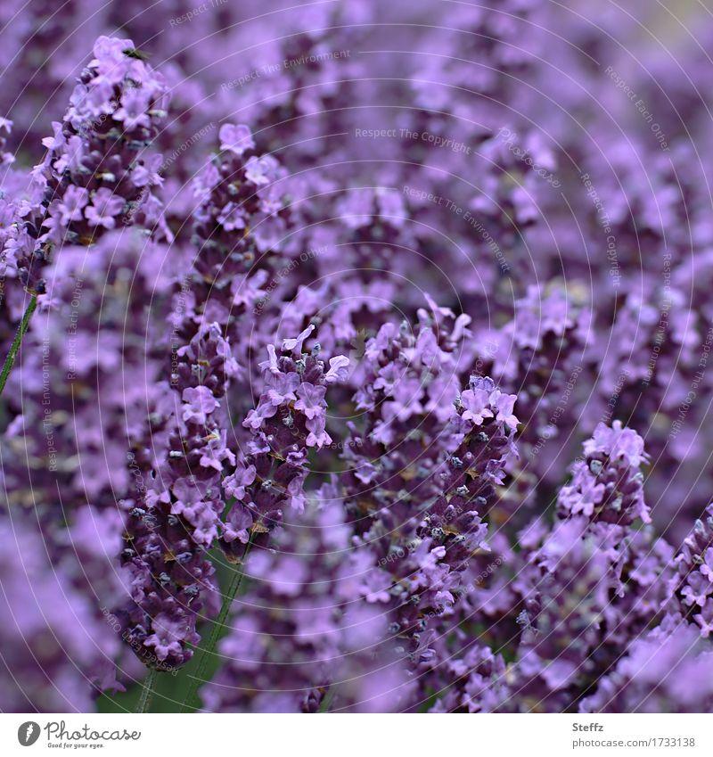 all in purple Environment Nature Plant Summer Flower Blossom Lavender Lavender field Blossom leave Garden plants Park Blossoming Beautiful Violet Colour Blur