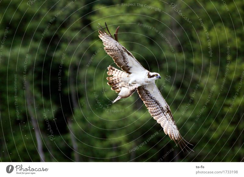 Osprey with fish Fish Nature Animal Air Water Lake Wild animal Bird Bird of prey Eagle 1 Catch Flying To feed Feeding Hunting Success Power
