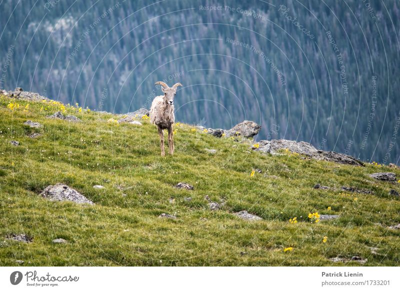 Mountain Goat Nature Vacation & Travel Summer Beautiful Green Tree Landscape Animal Forest Environment Lanes & trails Meadow Natural Tourism Wild