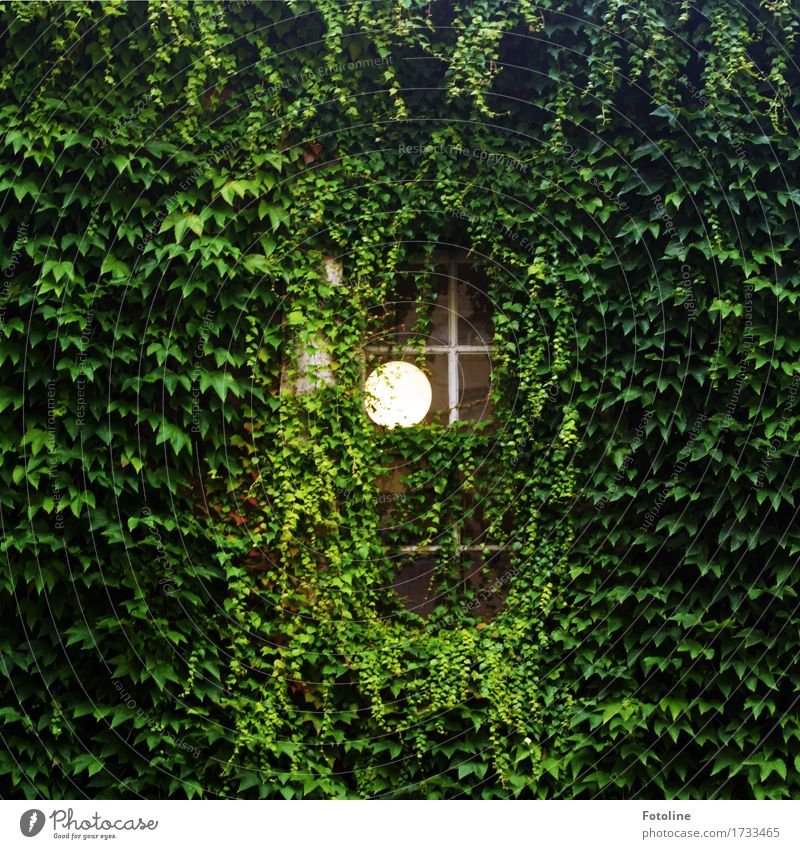 ray of hope Environment Nature Plant Summer Leaf Foliage plant Deserted House (Residential Structure) Window Bright Green Lamp Virginia Creeper Colour photo