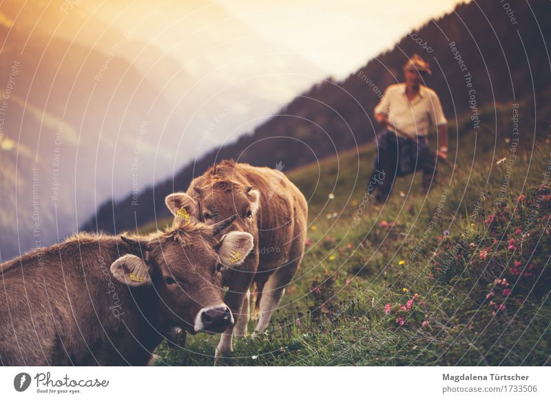 alpine cows Human being Environment Nature Landscape Plant Animal Summer Beautiful weather Flower Grass Hill Alps Peak Cow 2 Work and employment Observe