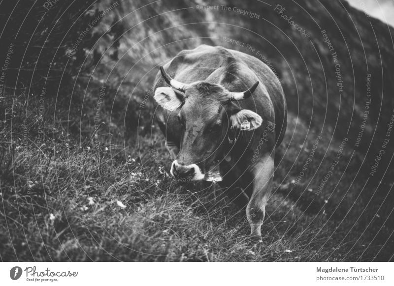 Alpe suckler cow Animal Cow 1 Sustainability Natural Contentment Black & white photo Exterior shot Day Twilight