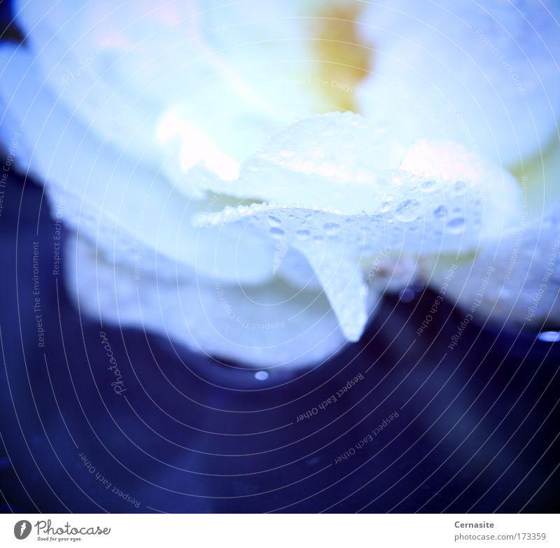 Mnemosyne I Blue Water White Summer Flower Yellow Dark Meadow Blossom Bright Rain Field Elegant Fresh Drops of water Gloomy